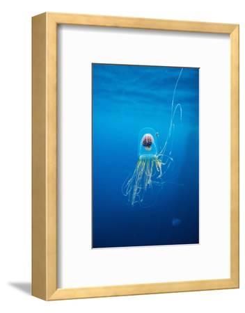 Underwater Jellyfish in Diego Ramirez Islands, Chile