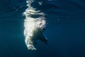 Underwater Polar Bear, Nunavut, Canada by Paul Souders