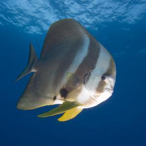 Underwater View of Teira Batfish at Manta Reef, Jangamo Beach, Guinjata Bay, Mozambique by Paul Souders