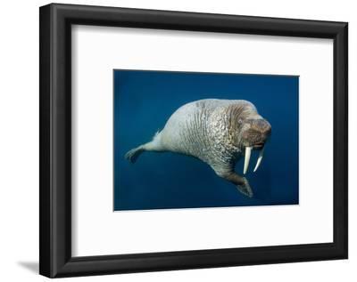 Underwater Walrus, Hudson Bay, Nunavut, Canada