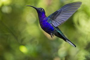 Violet Sabrewing Hummingbird, Costa Rica by Paul Souders