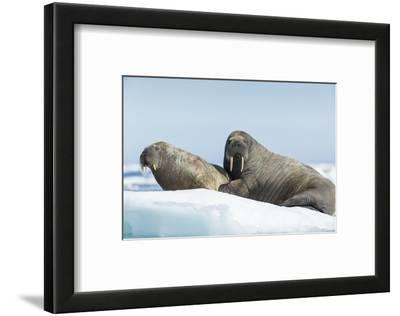 Walrus and Calf Resting on Ice in Hudson Bay, Nunavut, Canada