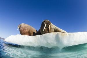 Walrus Herd on Ice, Hudson Bay, Nunavut, Canada by Paul Souders
