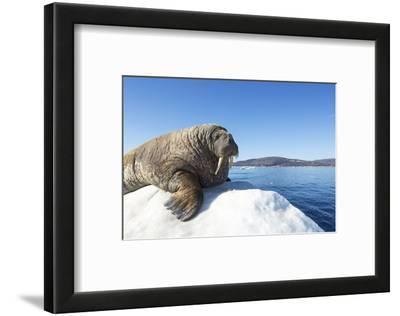Walrus on Ice, Hudson Bay, Nunavut, Canada