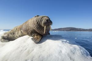 Walrus on Ice, Hudson Bay, Nunavut, Canada by Paul Souders
