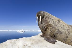 Walrus on Iceberg, Hudson Bay, Nunavut, Canada by Paul Souders
