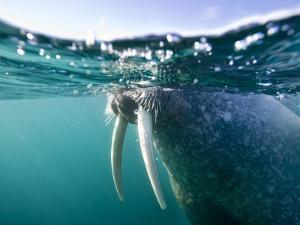 Walrus Swimming at Water Surface Near Tiholmane Island by Paul Souders