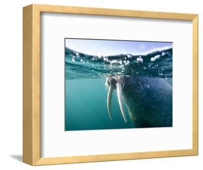 Walrus Swimming at Water Surface Near Tiholmane Island