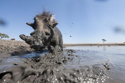 Warthog in Mud Hole, Chobe National Park, Botswana