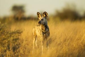 Wild Dog at Dawn, Moremi Game Reserve, Botswana by Paul Souders