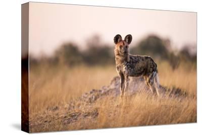 Wild Dog, Moremi Game Reserve, Botswana