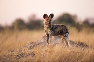 Wild Dog, Moremi Game Reserve, Botswana by Paul Souders