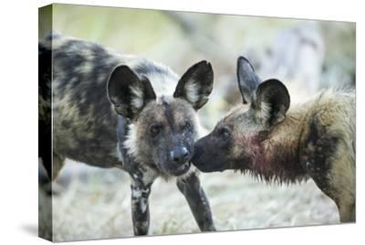 Wild Dogs at Dawn, Moremi Game Reserve, Botswana