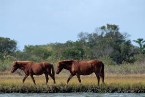 Wild Ponies on Assateague Island by Paul Souders