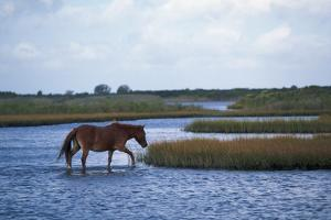 Wild Pony on Assateague Island by Paul Souders