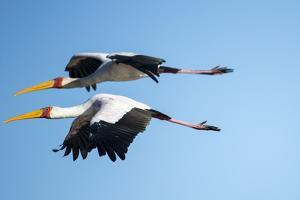 Yellow Billed Storks, Moremi Game Reserve, Botswana by Paul Souders