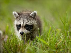 Young Raccoon Walking in Grass, Summer Evening, Assateague Island National Seashore, Maryland, Usa by Paul Souders