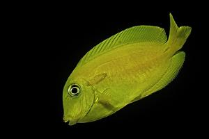 Acanthurus Olivaceus (Orangespot Surgeonfish) - Young by Paul Starosta