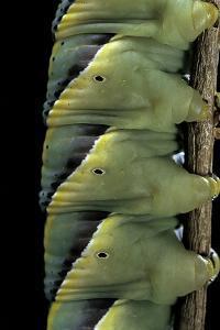 Acherontia Atropos (Death's Head Hawk Moth) - Caterpillar Detail by Paul Starosta
