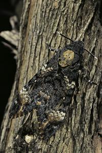 Acherontia Atropos (Death's Head Hawk Moth) by Paul Starosta