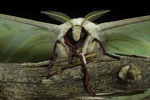 Actias Selene (Indian Moon Moth, Indian Luna Moth) - Portrait by Paul Starosta