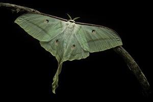 Actias Selene (Indian Moon Moth, Indian Luna Moth) by Paul Starosta