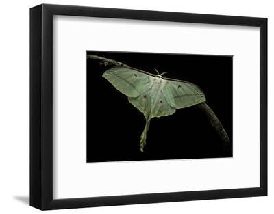 Actias Selene (Indian Moon Moth, Indian Luna Moth)