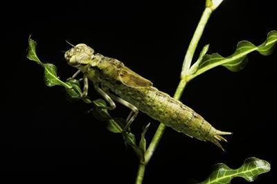 Aeschne Sp. - Larva