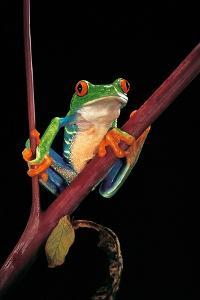 Agalychnis Callidryas (Red-Eyed Treefrog ) by Paul Starosta