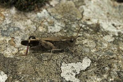 Aiolopus Strepens (Grasshopper) - on Stone