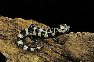 Ambystoma Opacum (Marbled Salamander) by Paul Starosta