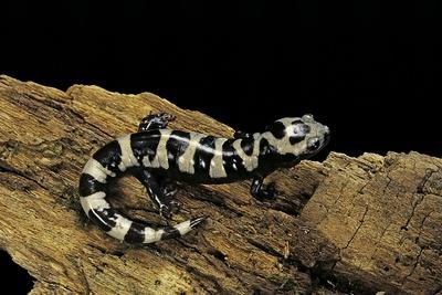 Ambystoma Opacum (Marbled Salamander)
