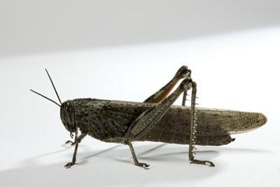 Anacridium Aegyptium (Egyptian Locust)