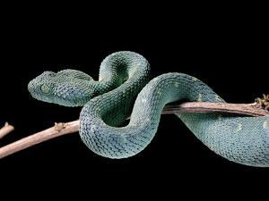 Atheris Chlorechis (Bush Viper) by Paul Starosta