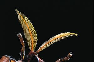 Attacus Atlas (Atlas Moth) - Antennae by Paul Starosta