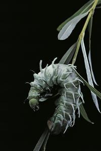 Attacus Atlas (Atlas Moth) - Caterpillar with Fleshy Spines by Paul Starosta