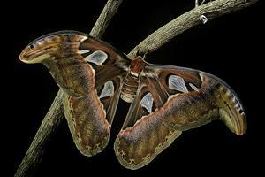 Attacus Atlas (Atlas Moth) - Female by Paul Starosta