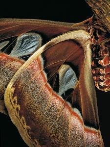 Attacus Atlas (Atlas Moth) - Wings Detail by Paul Starosta
