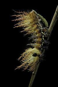 Automeris Egeus (Moth) - Caterpillar by Paul Starosta