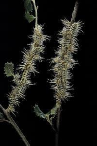 Automeris Egeus (Moth) - Caterpillars by Paul Starosta