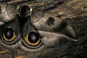 Automeris Harrisorum (Moth) - Wings Detail by Paul Starosta