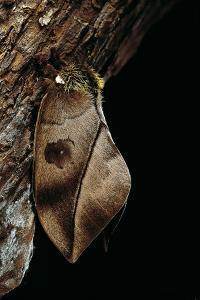 Automeris Harrisorum (Moth) by Paul Starosta