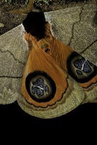 Automeris Liberia (Moth) - Wings Detail by Paul Starosta