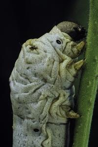 Bombyx Mori (Common Silkmoth) - Larva or Silkworm Detail by Paul Starosta