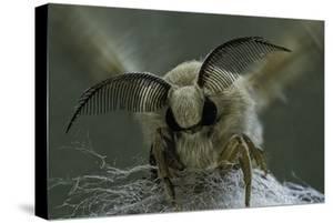 Bombyx Mori (Common Silkmoth) - Male Portrait by Paul Starosta