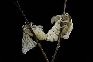 Bombyx Mori (Common Silkmoth) - Mating by Paul Starosta