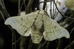 Bombyx Mori (Common Silkmoth) by Paul Starosta