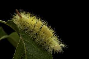 Calliteara Pudibunda (Pale Tussock Moth, Red Tail Moth) - Caterpillar by Paul Starosta
