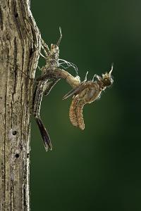 Calopteryx Virgo (Beautiful Demoiselle) - Emerging by Paul Starosta