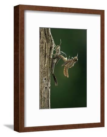 Calopteryx Virgo (Beautiful Demoiselle) - Emerging
